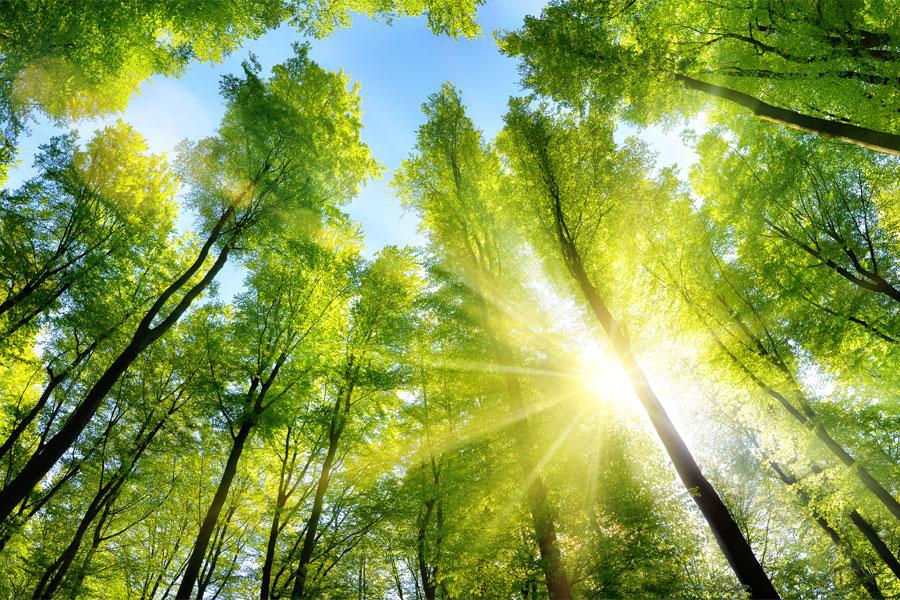 eller ljuset mellan trädstammarna